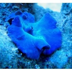 Discosoma Azul neon