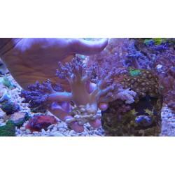 Arbol de Kenia ( Coral Blando )