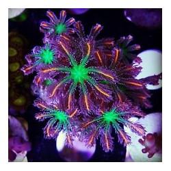 Pachiclavularia Papaya ( tricolor )