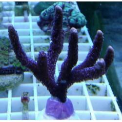 Montipora Digitata ( Morada ) Frag 5 cm