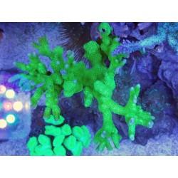 Montipora Digitata ( Verde ) Frag 5 cm