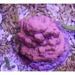 Montipora BALI 20 cm ( ROJO )