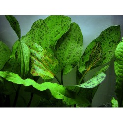 "Echinodorus x ""Ozelot green"""
