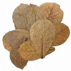 20 hojas de Terminalia catappa leaves