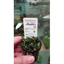 "Bucephalandra sp "" mini catherinae """