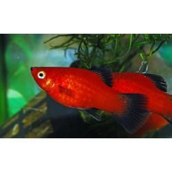 Platy Rojo de cola negra PRL ( Cria 2 cm )