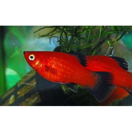 Platys Rojos de cola negra ( Crias 1-2 cm )