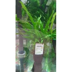 Microsorium trident