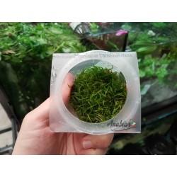 Musgo de Java ( cUBITO - Christmas moss )