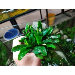 Bucephalandra Mini Red