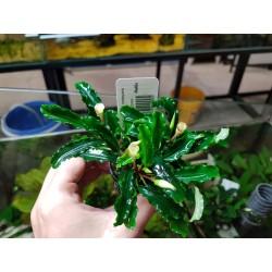 "Bucephalandra motleyana "" Sintag """