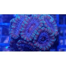 Acanthastrea Ultra Tricolor
