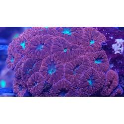 Blastomusa Australis Red ( 1 cabeza )