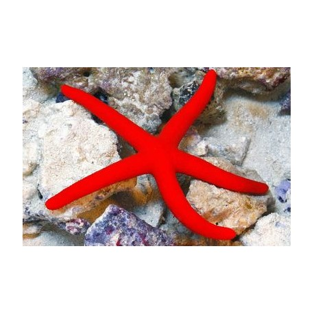 LINCKIA STARFISH ( RED )