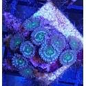 Zoanthus Ultra HAWAIIAN PE ESTELAR BLUE Colonia 10 polipos