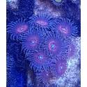 Zoanthus Ultra NightCrawler Colonia 9 polipos