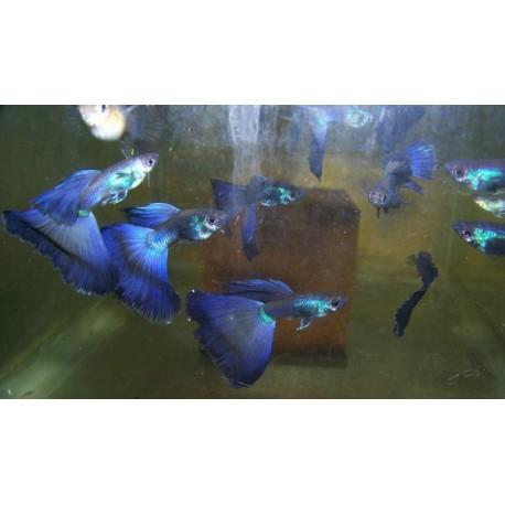 Guppy blue moscow pareja