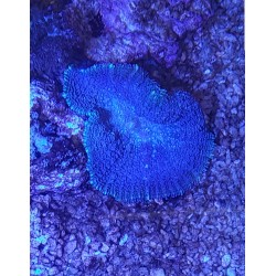 Rodacthis Premiun Azul