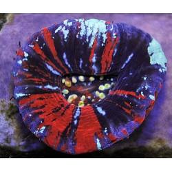 Scolymia australis (War Paint)