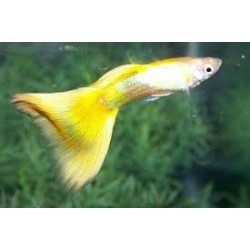 PAREJA GUPPY FULL LEMON