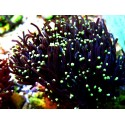 euphyllia black torch ( 1 CABEZA ) .