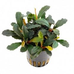 Bucephalandra Theia