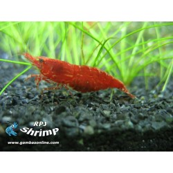 Red Cherry ( Lote 5 Gambas )