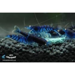 Tiger Blue ( Azul fuerte ) ( Gambas para acuarios )